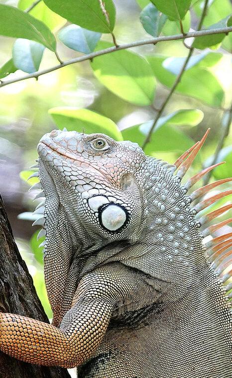 Iguana Removal Services