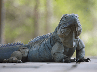 One Time Iguana Removal Services