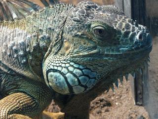 Keep Iguanas Away