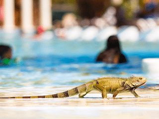Iguana Removal Recurrent Services